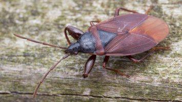 Gastrodes grossipes · storakojė dirvablakė 6001