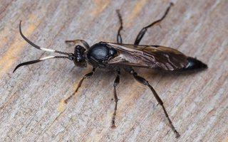Hymenoptera · plėviasparnis 6003