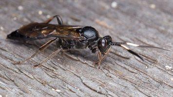 Hymenoptera · plėviasparnis 6004