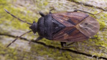 Drymus sylvaticus · miškinė dirvablakė