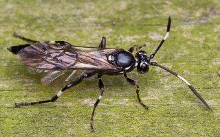 Hymenoptera · plėviasparnis 6022
