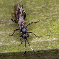 Hymenoptera · plėviasparnis 6023