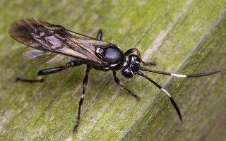 Hymenoptera · plėviasparnis 6025