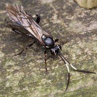 Hymenoptera · plėviasparnis 6026