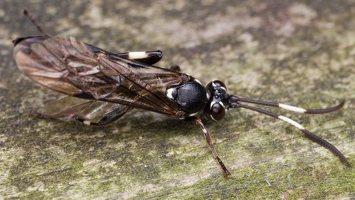 Hymenoptera · plėviasparnis 6027
