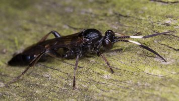 Hymenoptera · plėviasparnis 6028