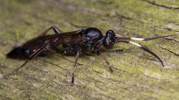 Hymenoptera · plėviasparnis 6029