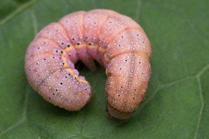 Lacanobia oleracea caterpillar · daržinis pelėdgalvis, vikšras 6033