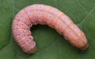 Lacanobia oleracea caterpillar · daržinis pelėdgalvis, vikšras 6036