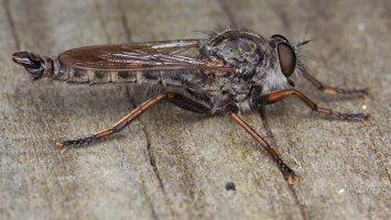 Asilidae · musė plėšrūnė 6037