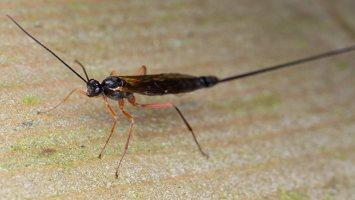 Hymenoptera · plėviasparnis 6042