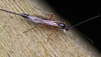 Hymenoptera · plėviasparnis 6043