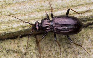 Loricera pilicornis · šeriaūsis žygis 6044