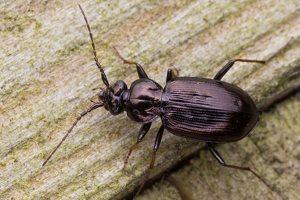 Loricera pilicornis · šeriaūsis žygis 6045