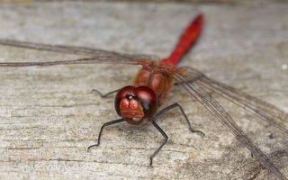 Libellulidae · raštuotosios skėtės