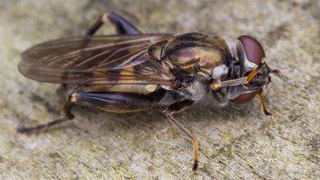 Chalcosyrphus nemorum · žiedmusė