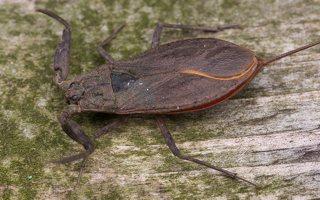 Nepa cinerea · pilkoji skorpionblakė 6108