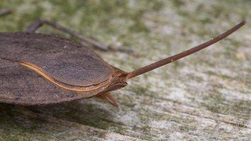 Nepa cinerea · pilkoji skorpionblakė 6109