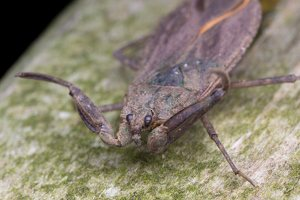 Nepa cinerea · pilkoji skorpionblakė 6110