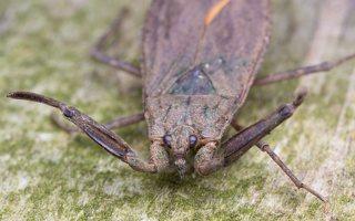 Nepa cinerea · pilkoji skorpionblakė 6111