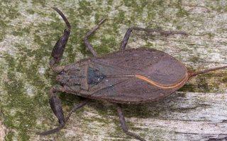 Nepa cinerea · pilkoji skorpionblakė 6112
