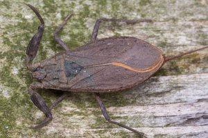Nepa cinerea · pilkoji skorpionblakė 6113