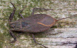 Nepa cinerea · pilkoji skorpionblakė 6114