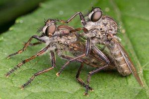 Asilidae · musė plėšrūnė 6125