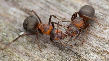Formicidae · skruzdėlės 6128