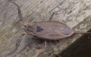 Nepa cinerea · pilkoji skorpionblakė 6130