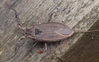 Nepa cinerea · pilkoji skorpionblakė 6131