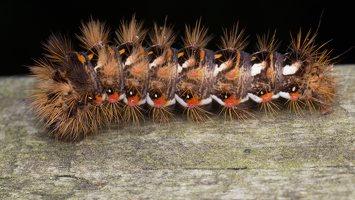 Acronicta rumicis caterpillar · rūgštyninis strėlinukas, vikšras 6223
