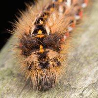 Acronicta rumicis caterpillar · rūgštyninis strėlinukas, vikšras 6224