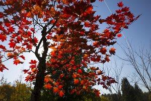 Acer pseudosieboldianum · korėjinis klevas 6310
