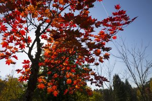 Acer pseudosieboldianum · korėjinis klevas 6311