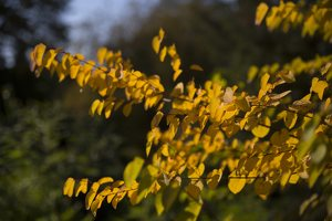 Cercidiphyllum japonicum · japoninis puošmedis 6402