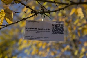Cercidiphyllum japonicum · japoninis puošmedis 6403