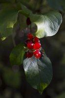 Lonicera vesicaria · korėjinis sausmedis 6405