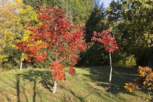 Acer pseudosieboldianum · korėjinis klevas 6487
