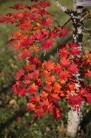 Acer pseudosieboldianum · korėjinis klevas 6488