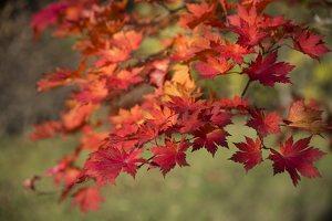 Acer pseudosieboldianum · korėjinis klevas 6490