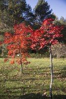 Acer pseudosieboldianum · korėjinis klevas 6491