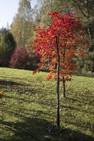 Acer pseudosieboldianum · korėjinis klevas 6492