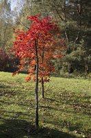 Acer pseudosieboldianum · korėjinis klevas 6493