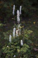Actaea racemosa · kekinė blakėžudė 6527