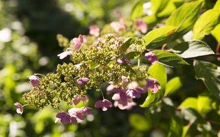 Hydrangea paniculata · šluotelinė hortenzija 6543