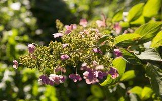 Hydrangea paniculata · šluotelinė hortenzija 6544