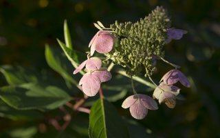 Hydrangea paniculata · šluotelinė hortenzija 6545