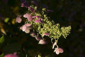 Hydrangea paniculata · šluotelinė hortenzija 6546