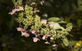Hydrangea paniculata · šluotelinė hortenzija